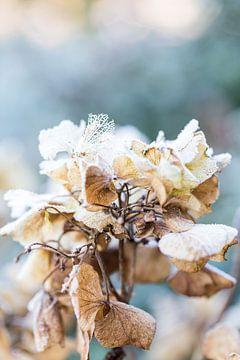 Alte Blume von Sharona Sprong