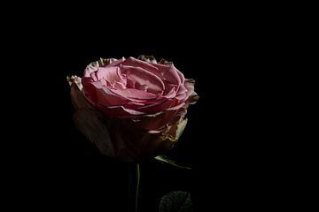 Rose sur Adriaan Westra