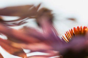 Zonnehoed of Echinacea van Rens Kromhout