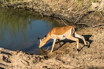 Impala of Rooibok - Aepyceros melampus van Rob Smit