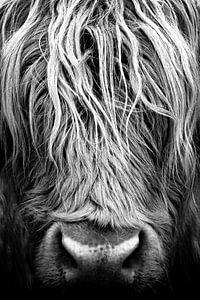 Koe, Schotse Hooglanders, portret, closeup, schotland van Desiree Tibosch
