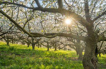 Kirschblüte van