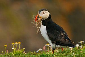 Papegaaiduiker met nestmateriaal
