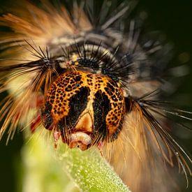 Rups van de Plakker Nachtvlinder(Lymantria dispar) met grote stekels op groen blad van Joost Adriaanse