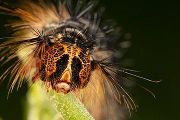 Raupe des Plakker Nachtvlinder (Lymantria dispar) mit großen Stacheln auf grünen Blättern. von Joost Adriaanse