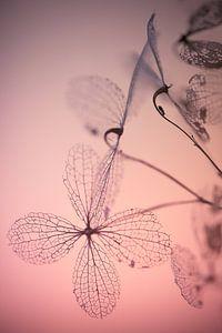 Fragile awakenings - Hortentia uitgebloeid van