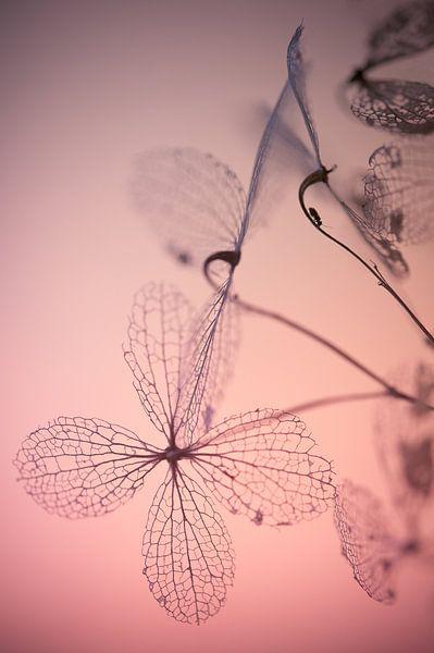 Fragile awakenings - Hortentia uitgebloeid van Andrea Gulickx