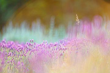 Lavendelzeit von Sabine Böke-Bergau
