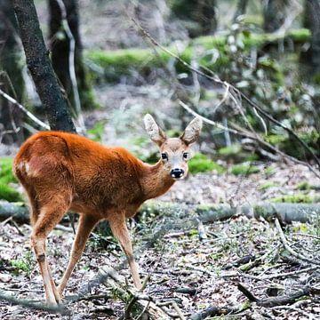 Chevreuil femelle dans la forêt  - Capreolus capreolus sur whmpictures .com