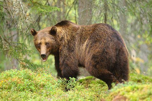 Bruine beer in het bos. van Alex Roetemeijer