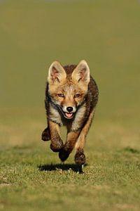 Een vossen welp