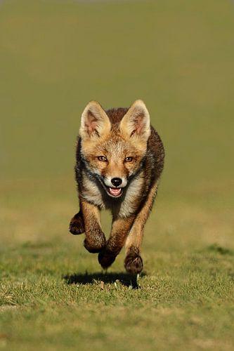 Een vossen welp van
