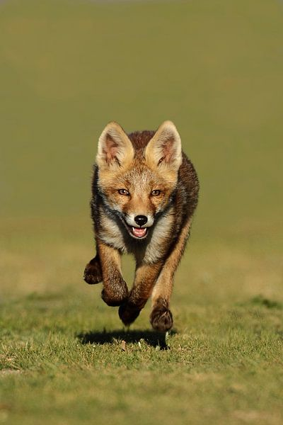 Red fox cub von Menno Schaefer