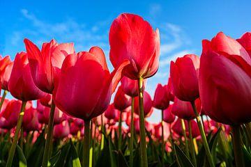 Rosa Tulpen von Wouter van Woensel