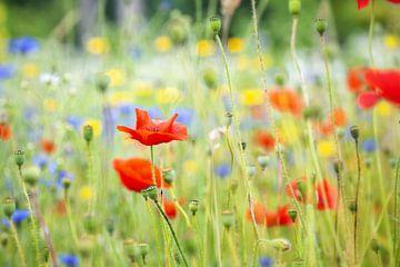 Feld mit wilden, farbenfrohen Blumen, mit Mohn in der Hauptrolle von Caroline van der Vecht