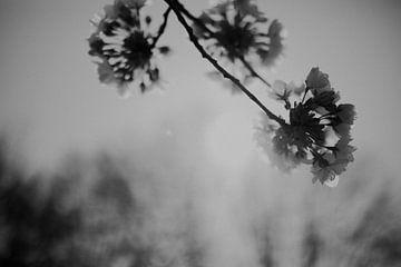 Blüte im Gegenlicht schwarz-weiß von Sanne van Pinxten