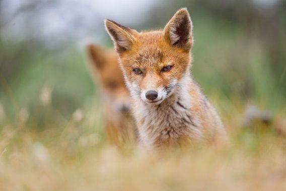 twee jongen vossen van Pim Leijen