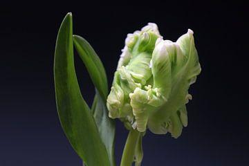Sittich Tulpe in Knospe von Annemarie Veldman