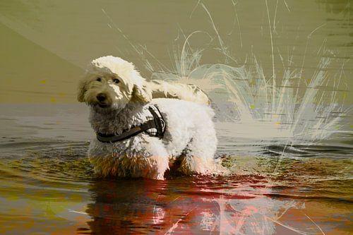 Labradoodle in het water