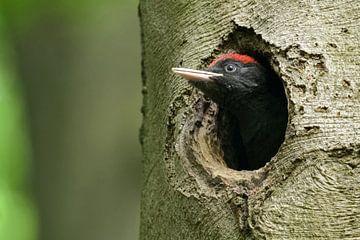 Zwarte specht (Dryocopus martius) jonge vogel kijkt uit de broedgrot en hoopt op vroege voeding, wil van wunderbare Erde