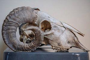 Rams schedel