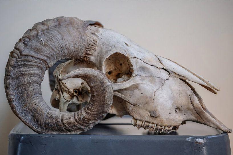 Rams schedel von Ron Meijer Photo-Art
