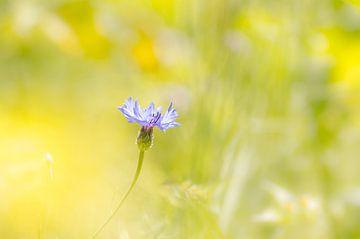 "Korenbloem - ""Summer 's Here"" von Carla Boogaard"