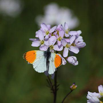 Oranjetipje van Wim Zoeteman