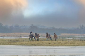 Exmoor-Ponys auf der Wiese 4 von Marcel Kieffer