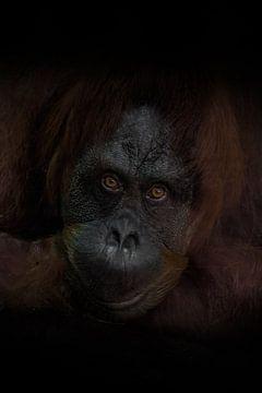De aandachtige blik van een slimme roodharige orang-oetan, de donkere achtergrond is een wijs aapje. van Michael Semenov