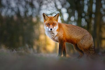 fox von Pim Leijen