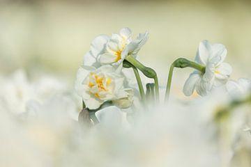 Keukenhof bloemen Wit 3 van