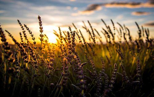 Champ de lavande au coucher du soleil sur