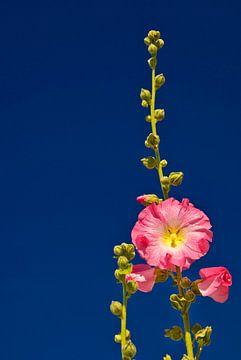 Rose stokroos tegen blauwe lucht van