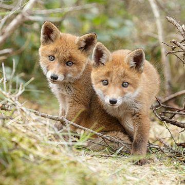 Twee jonge vossen von Menno Schaefer