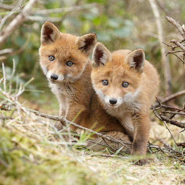 Twee jonge vossen van Menno Schaefer