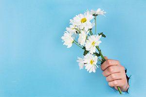 Strauß von Gänseblümchen oder Gänseblümchen, die durch eine blaue Wand geklebt sind