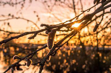 Alder mit untergehenden  Sonne von Richard Steenvoorden