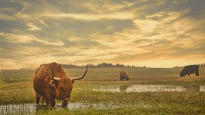Highland Cows von Wim van Beelen