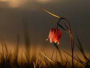 Kievitsbloem in het laatste zonlicht van Michel Knikker