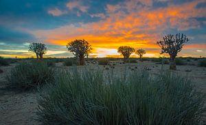 Kokerbomen bij zonsopkomst in de Kalahari woestijn, Namibië van