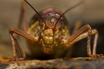 Een bruine zadelsprinkhaan kijkt recht in de lens von Paul Wendels