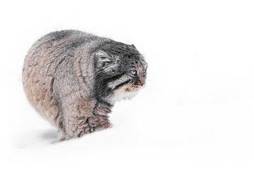 Geïsoleerd op witte sneeuw achtergrond Ernstige brutale pluizige wilde kat manul op witte sneeuw. van Michael Semenov