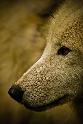 Close-up wolf van