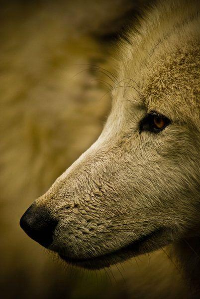 Close-up wolf van Jeffrey Dolkens
