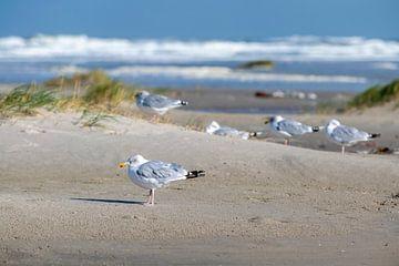 Meeuwen charadriiformes op het Noordzeestrand van het waddeneiland Terschelling in het noorden van N van Tonko Oosterink