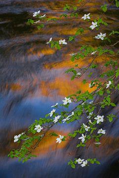 Bloeiende Kornoelje soort (Cornus nuttallii) boven een snel stromende rivier in Yosemite National Pa von Nature in Stock