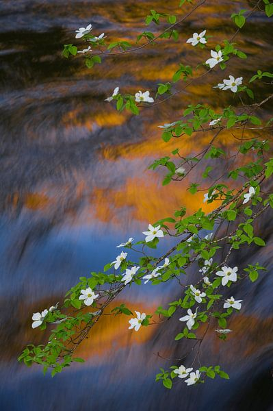 Bloeiende Kornoelje soort (Cornus nuttallii) boven een snel stromende rivier in Yosemite National Pa van Nature in Stock