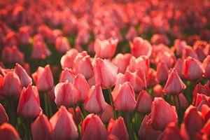 Rode tulpen in zacht avondlicht van Schram Fotografie