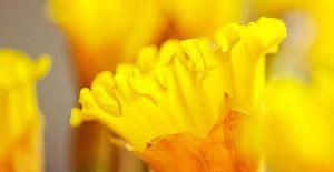 Narcis close up